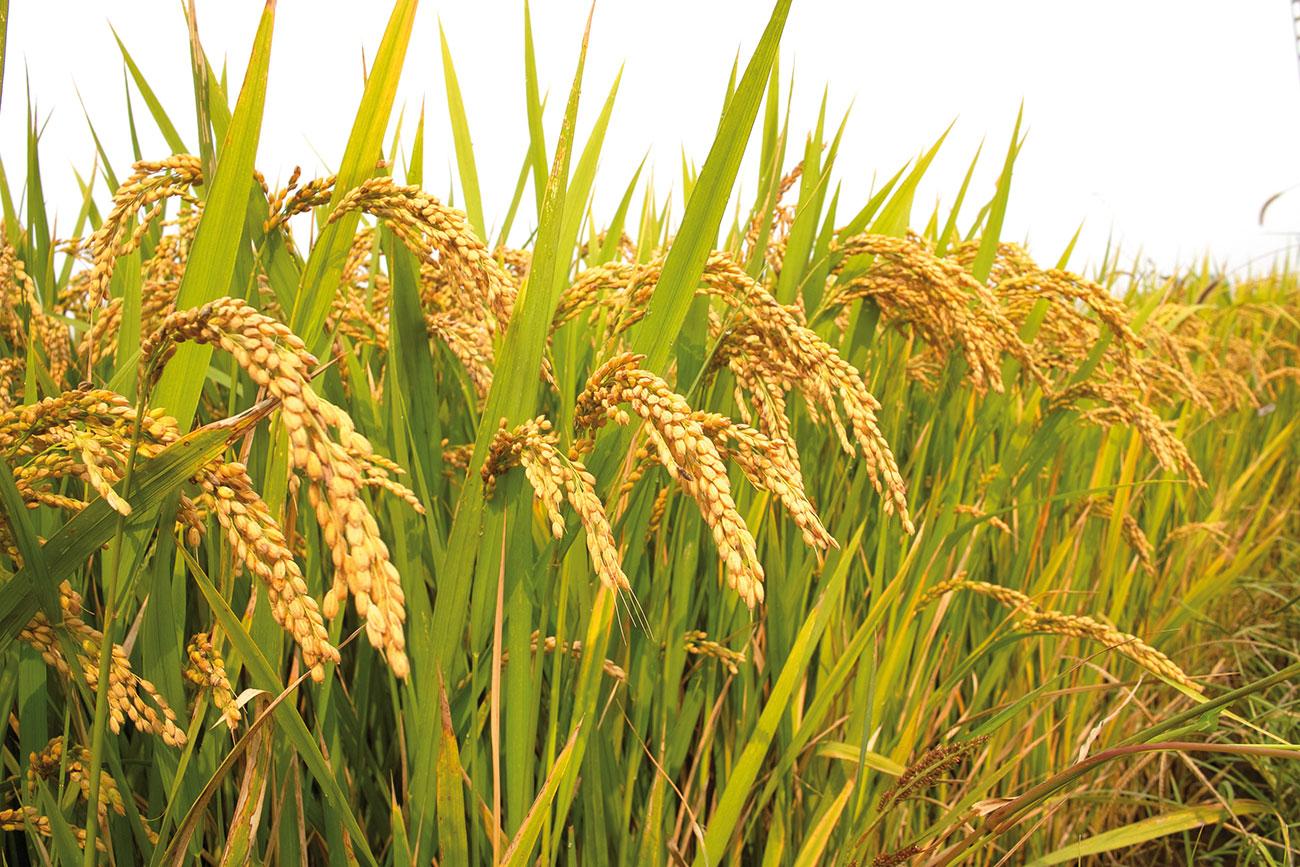Рис культурное растение доклад 913